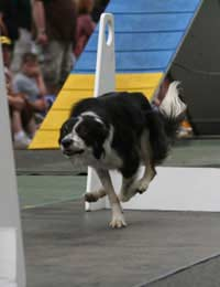 Crufts Qualifications Championship Dog