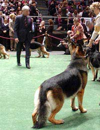 Judge Crufts Kennel Club Show Ring